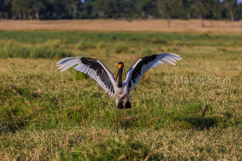 Saddle Billed stork sunning its wings in Masai Mara