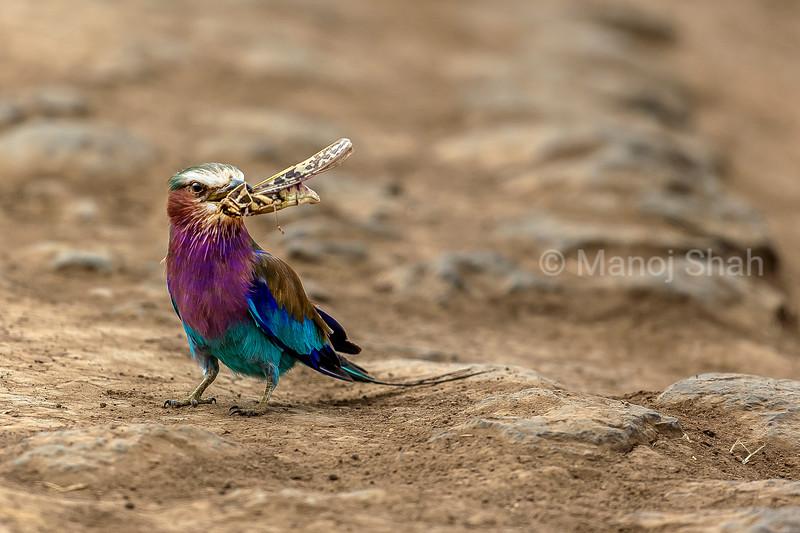 Lilac Breast roller with a grass hopper in its beak in Masai Mara