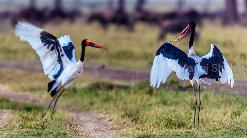 Mating rituals performed by pair of Saddlebill Storks