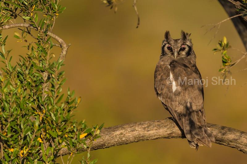 Verreaux's Eagle owl.