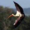 Yellow billed stork flight