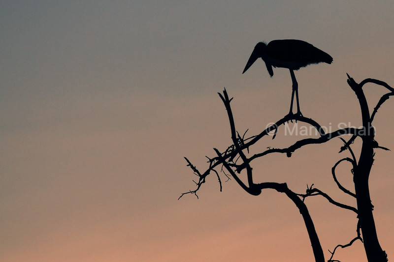 Marabou stork in Sunrise