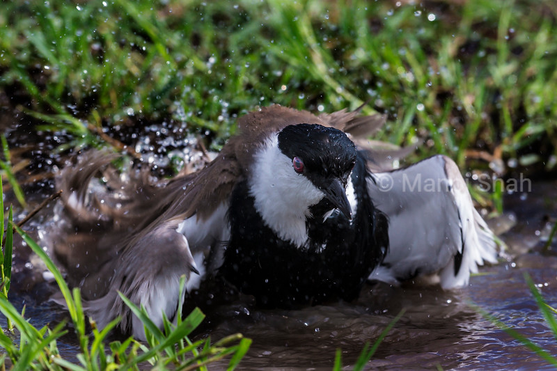 Spur-Winged Plover having a bath in a small pool of water.