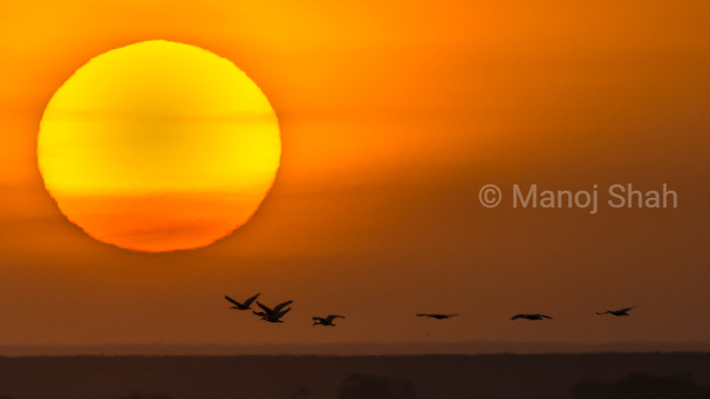 Flock of yellow-billed egrets in flight at sunrise