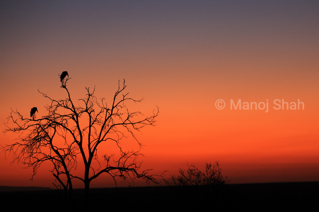 Marabou storks in Sunrise