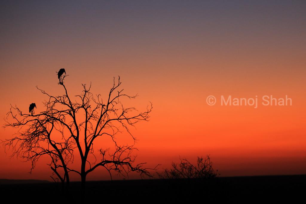 Marabou storks in Sunrise