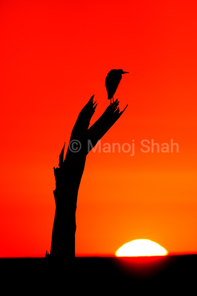 Yellow billed stork at sunrise