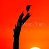 Yellow billed stork at sunrise
