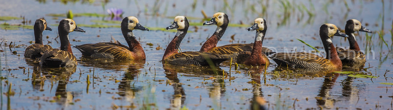 White faced tree ducks in Amboseli National Park marsh.