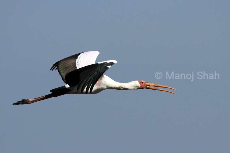 Yellow billed stork flight