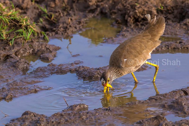 Wattled Ploves  wading in muddy waters of Masai Mara.