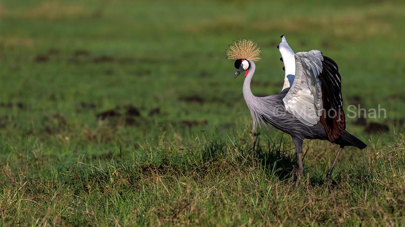 Grown Crane displaying wings in Masai Mara