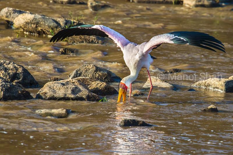 Yellow-Billed Stork fishing in Mara River