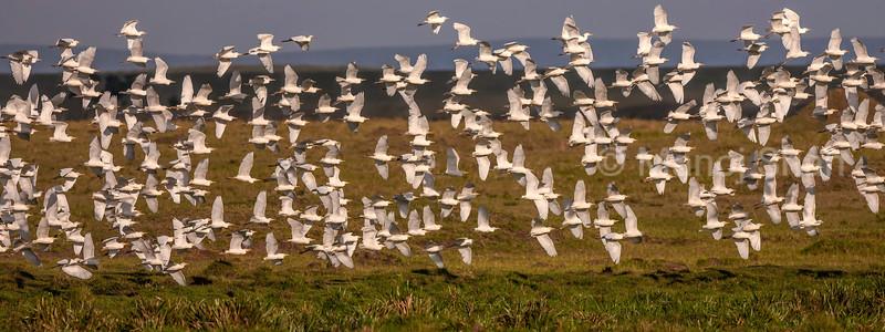 Cattle egrets flying en masse in Masai Mara