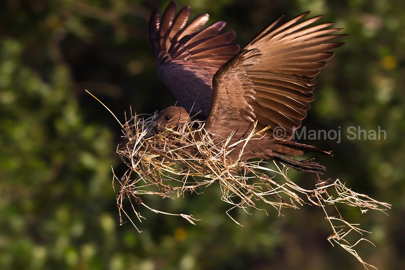 Hamerkop building nest