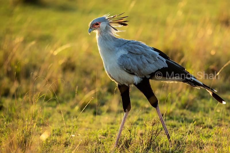 Secretary bird looking for prey