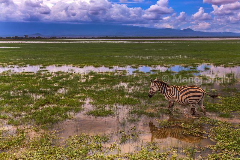 zebra walking in the marsh in Amboselli National Park, Kenya
