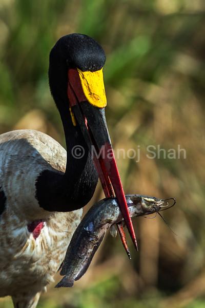 Saddlebill stork with catfish