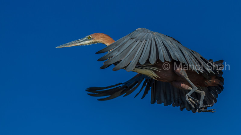 Grey heron takig off on a flight at Lake Baringo.