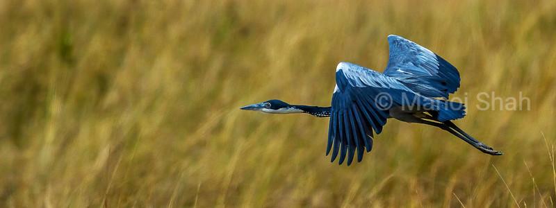 Black - Headed heron in a flight in Masai Mara.