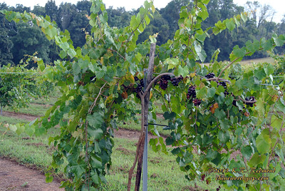 Noble Variety Muscadines