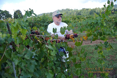Wrinkled Old Man Picking Muscadines