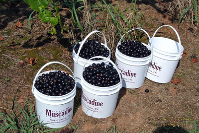 Noble Muscadines