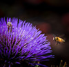 Purple Bloom with Bee