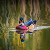 Staring Wood duck