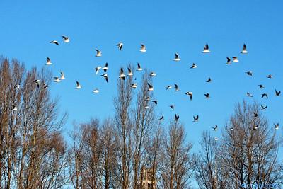 Oiseaux bords de Loire Orleans 5 C-Mouton