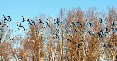 Oiseaux bords de Loire Orleans 4 C-Mouton