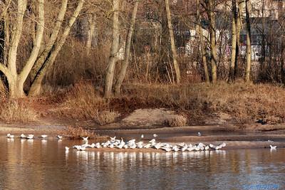 Oiseaux bords de Loire Orleans 1 C-Mouton