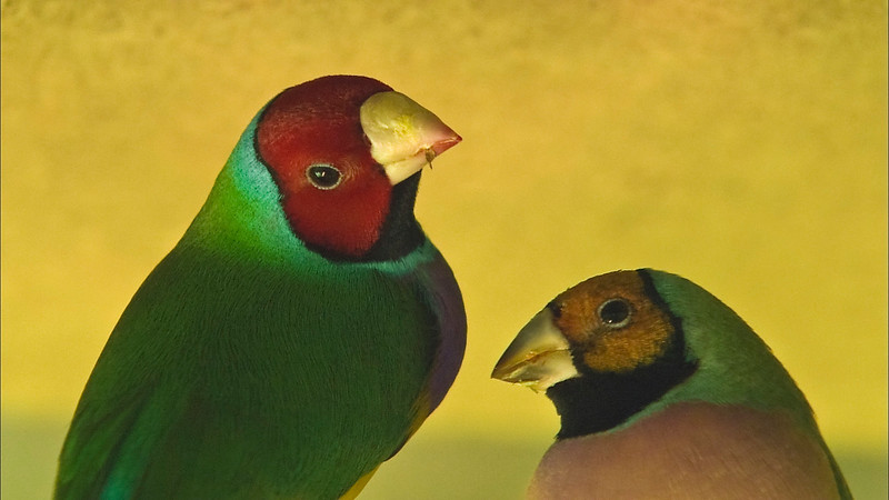 Red-heade Gouldian Finch