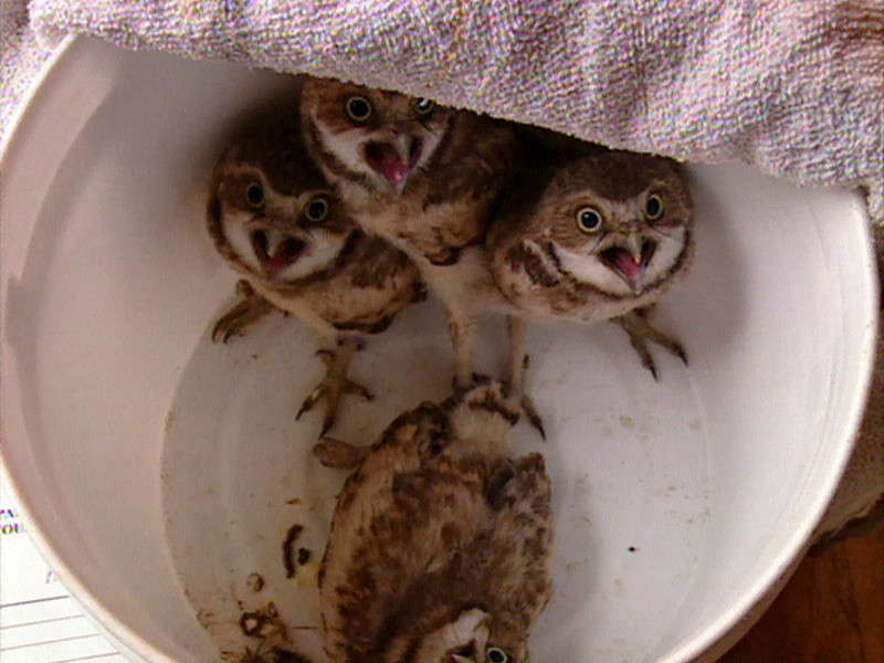 Burrowing Owl 'chicks'