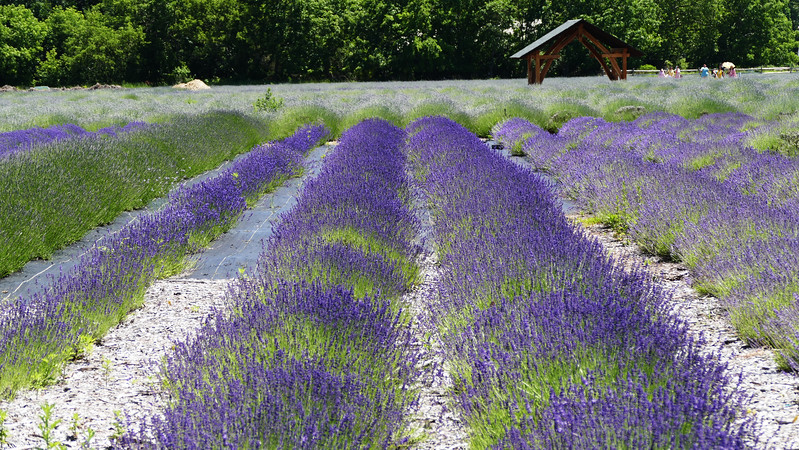 LAVENDER FARM EAST MARION NY JUST EAST OF GREENPORT ENROUTE TO THE ORIENT PT FERRY