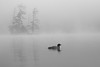 Common Loon with island in morning mist • Moss Lake, Adirondacks Park, NY • 2010