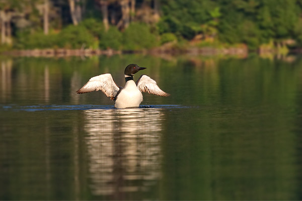 Loon rises from water • Moss Lake, Adirondack Park, NY • 2010