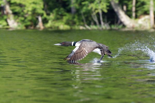 Loon runs on water to take flight • Mason Lake, Adirondack Park, NY • 2011