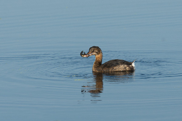 Pied-Billed Grebe juvenile with fish • Montezuma NWR, NY • 2014