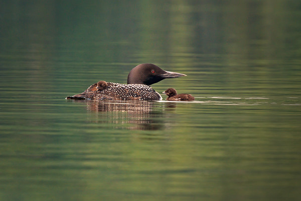 Common Loon adult with two chicks, one riding on her back • Green River Reservoir, VT • 2010