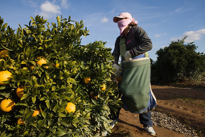 Orange Cove,CA---Farmworker Anna Sosa picks oranges in a citrus grove just outside the city of Orange Cove on Monday, Dec. 14, 2009. Orange Cove is 90 percent Hispanic and has many farmworkers like Sosa living there. The ag-based economy is dependent on water supplies. A drought in 1976-77 devastated the economy of Orange Cove and farmworkers were left without any income. Photo by Tomas Ovalle