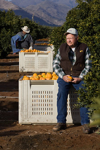Orange Cove,CA---Citrus farmer Harvey Bailey sits on a bin of oranges picked by farmworkers in an orange grove just outside the city of Orange Cove on Monday, Dec. 14, 2009. Bailey is a citrus farmer and depends on water supplies for his fields. Bailey remembers the drought of 1976-77 which devastated the local economy.  Citrus fruit are the life-blood cities like Orange Cove and Lemon Cove. The new proposed reservoir at Temperance Flat would help water supplies to Orange Cove and other Ag towns but the question remains; who will pay for the new reservoir? Photo by Tomas Ovalle