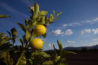 Orange Cove,CA---Young lemons grow just outside the city of Orange Cove on Monday, Dec. 14, 2009. The town of Orange Cove has an ag-based economy and the population of the city is 90 percent  Hispanic, including many farmworkers. A proposed new reservoir and dam at Temperance Flat will help to provide a more stable water supply so in dry years, drought conditions won't adversly affect the citrus crop.  Photo by Tomas Ovalle