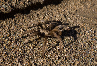 Friant,CA--- A tarantula crawls along the shore of Millerton Lake on Monday, Dec. 14, 2009. Millerton Lake was created by Friant Dam on the San Joaquin River, about 15 miles north of Fresno. It is an irrigation reservoir, built by the Bureau of Reclamation in 1942. The Friant Water Authority has proposed  a new reservoir and dam at Temperance Flat. Millerton Lake is just West of the proposed reservoir. The price tag for the project is some $3.36 billion and could be built in 15 years.  It would provide 1,200,000 acre-feet of storage and an additional 160,000 acre-feet of usable annual water. Critics of the dam and reservoir say that the price tag is too high. Photo by Tomas Ovalle