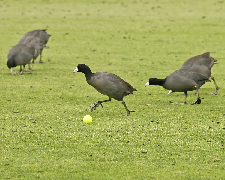 24 MAR 12 Hungry Canadian Coots swarming the 17th fairway during Sundays Final Round of The KIA Classic at La Costa Resort and Spa in La Costa, California.