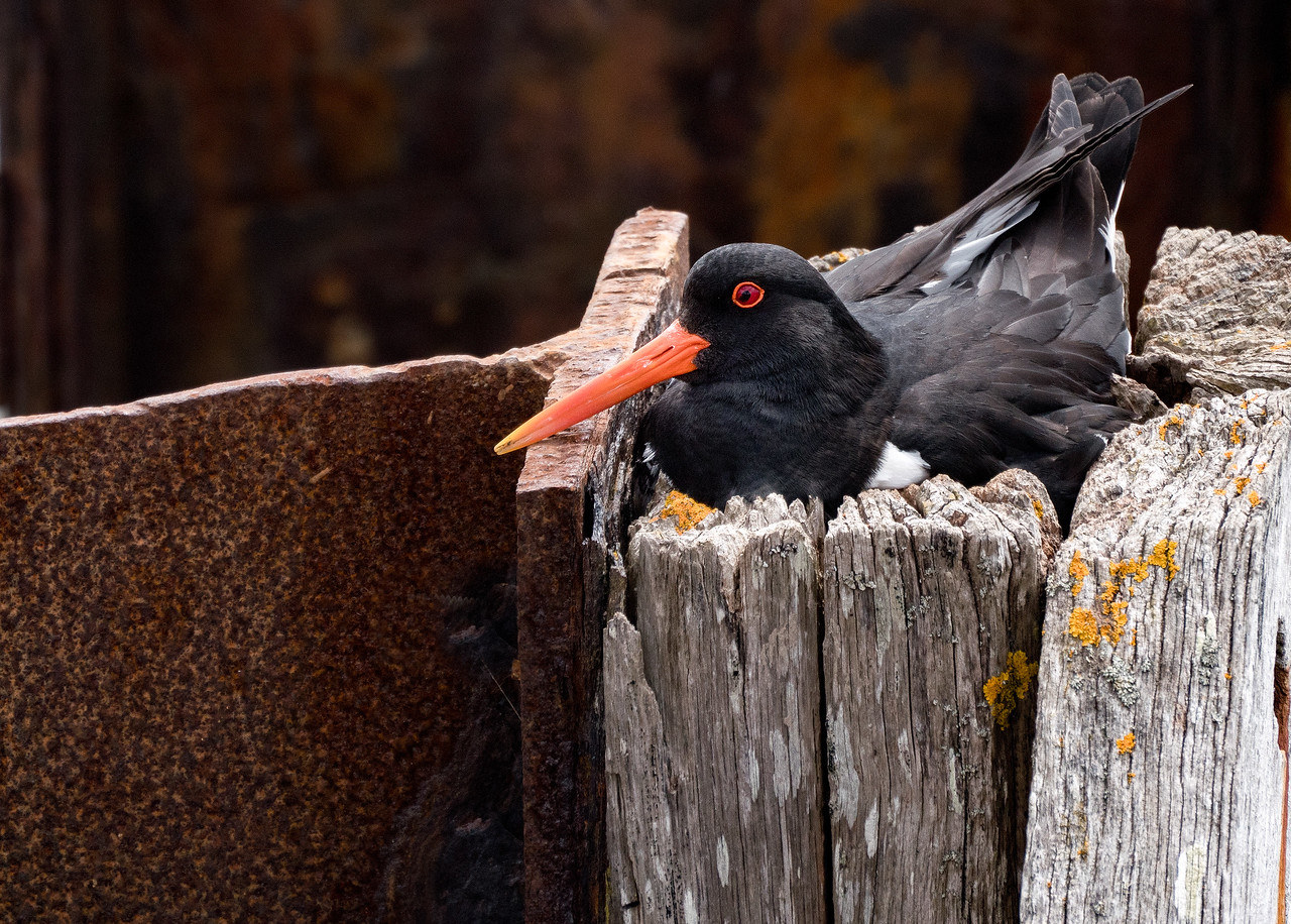 Nesting Oystercatcher at Instow