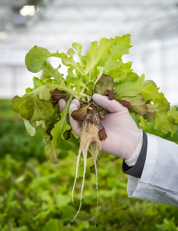 . Hydroponic farmer, Bill Evans, shows off an arugula lettuce planting from the his greenhouse.  Fresh Roots Greenhouse of Chelmsford.   Photo:  Scot Langdon / SUN