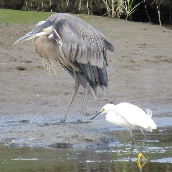 Great Blue Heron & Snowy Egret