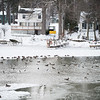 Joed Viera/Staff Photographer-Geese and ducks wade along the Wilson Marina.