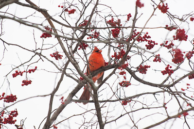 JOED VIERA/STAFF PHOTOGRAPHER-Lockport, NY-A cardinal pays a visit to Childrens Memorial Park Thursday morning.